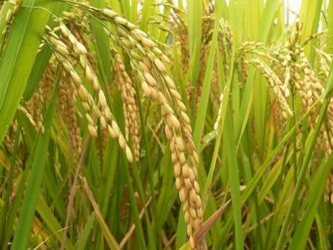 riz 2